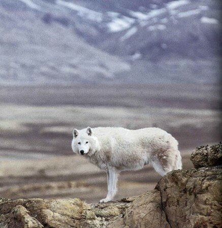 Arctic_wolf_by_Mech