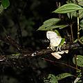 Phyllomedusa bicolor (mâle)