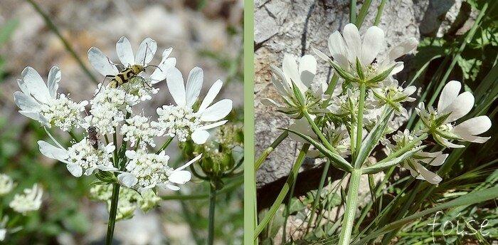 Fleurs d'un blanc pur en ombelle de 5 à 10 cm de 5 à 8 rayons presque égaux