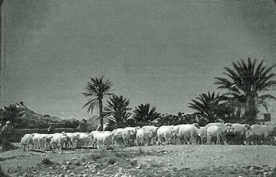 ZOUAVES_BERGEIRE_troupeau_de_moutons_a_m_sila