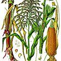 Récolte du maïs