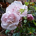 Rosa, rosa, rosam, rosae,rosae, rosa...