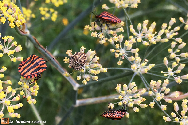 Graphosoma-lineatum
