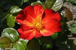 Rosier 'Red Cottage' - Amour - Passion