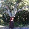 558px-Quercus_suber5