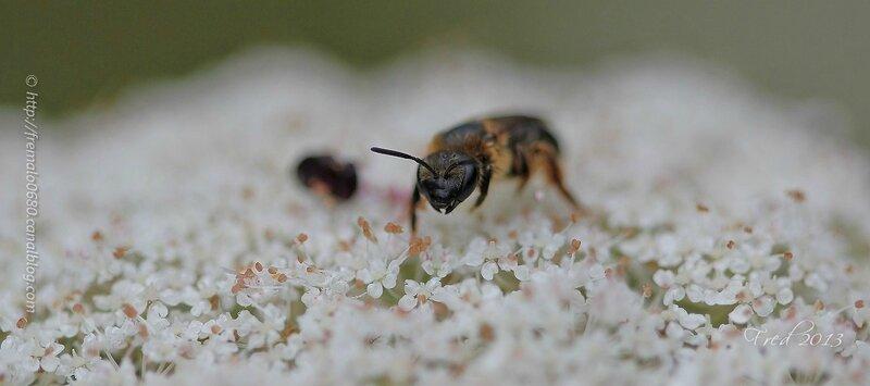 Hymenoptera - abeille solitaire inconnue