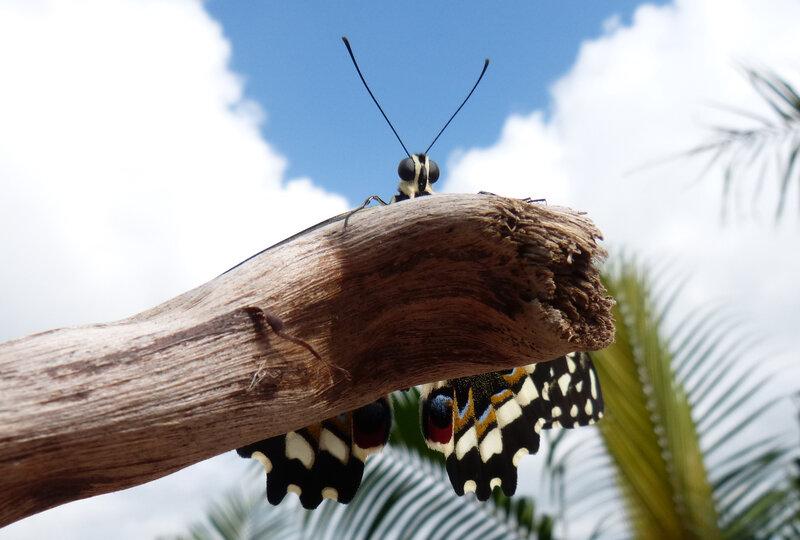 Papilio démodocus