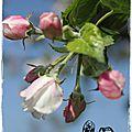 Les pommiers en fleurs