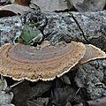 Gloeophyllum saepiarium (1)
