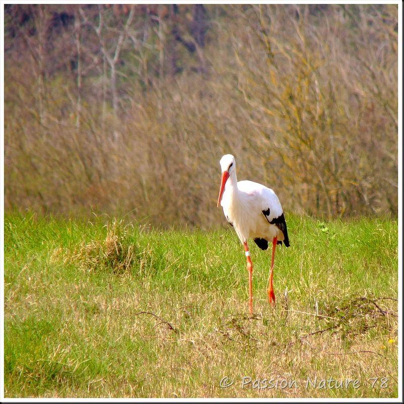La cigogne blanche