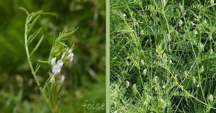 fleurs d'un blanc bleuâtre de 3 à 5 en racème court