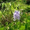 Fleur aquatique