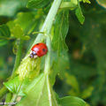adalia_bipunctata___coccinelle_rouge_a_2_point_noirs