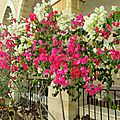 Magnifique floraison de bougainvilliers