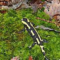 Salamandre1