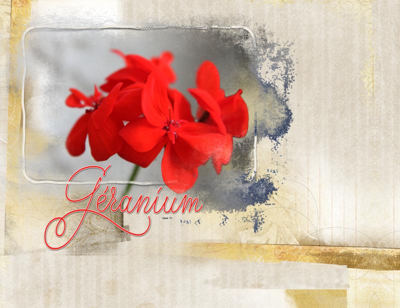 geranium__