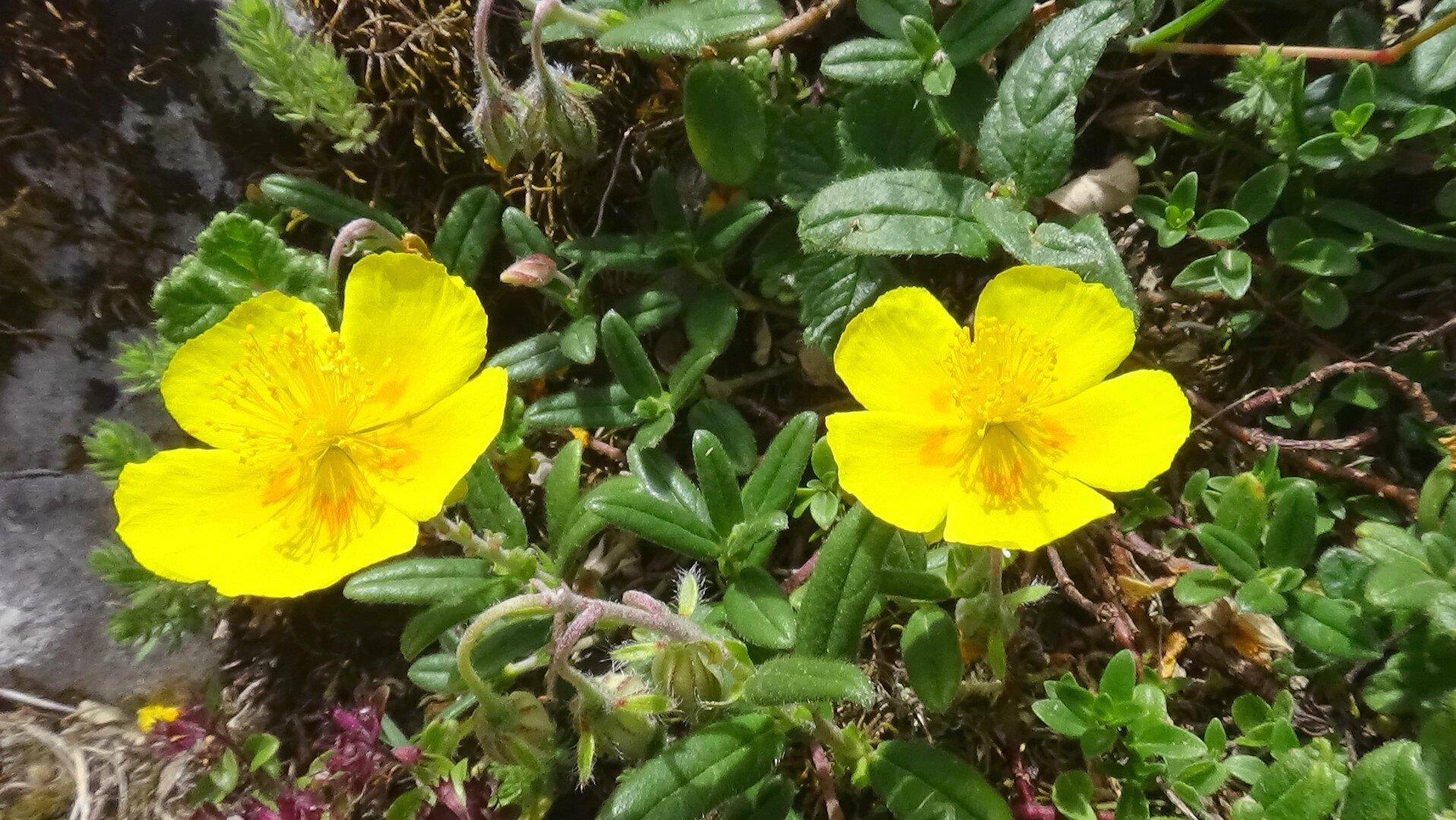 Hélianthème à grandes fleurs