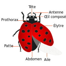 220px_Coccinellidae_Anatomie