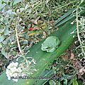 Une rainette verte