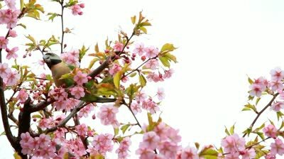 stock-footage-branch-with-spring-flowers-on-a-cherry-tree-with-bird