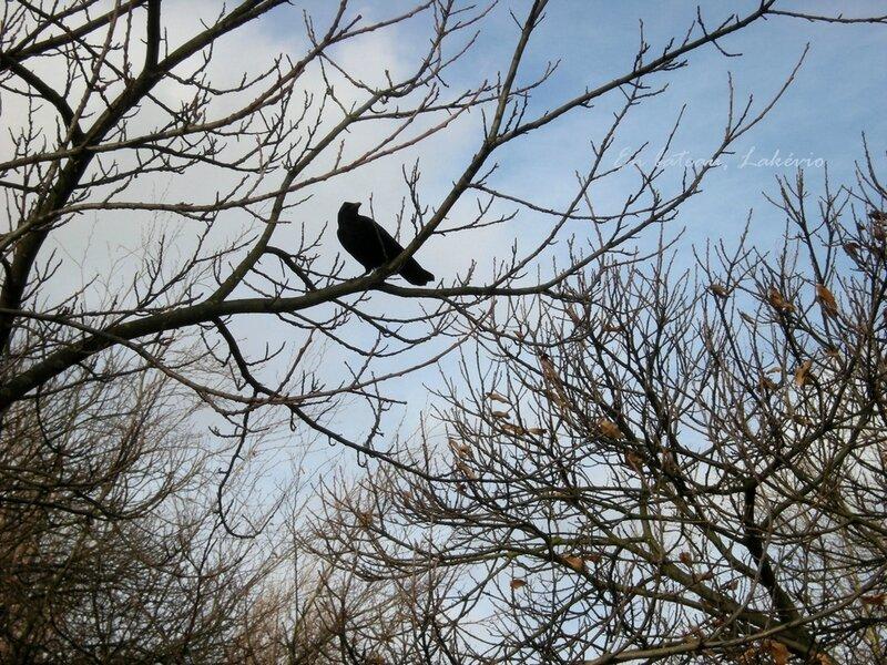 london kensington gardens crow