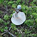 Clitopilus prunulus (2)