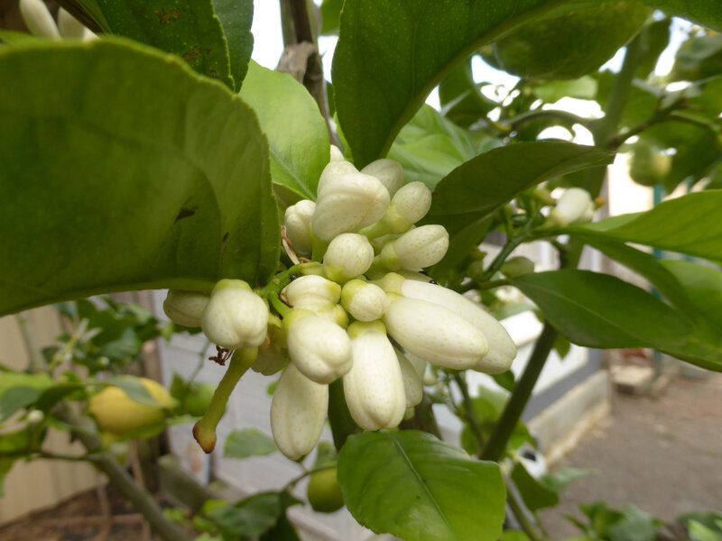 7-citronniers, citrons (45)