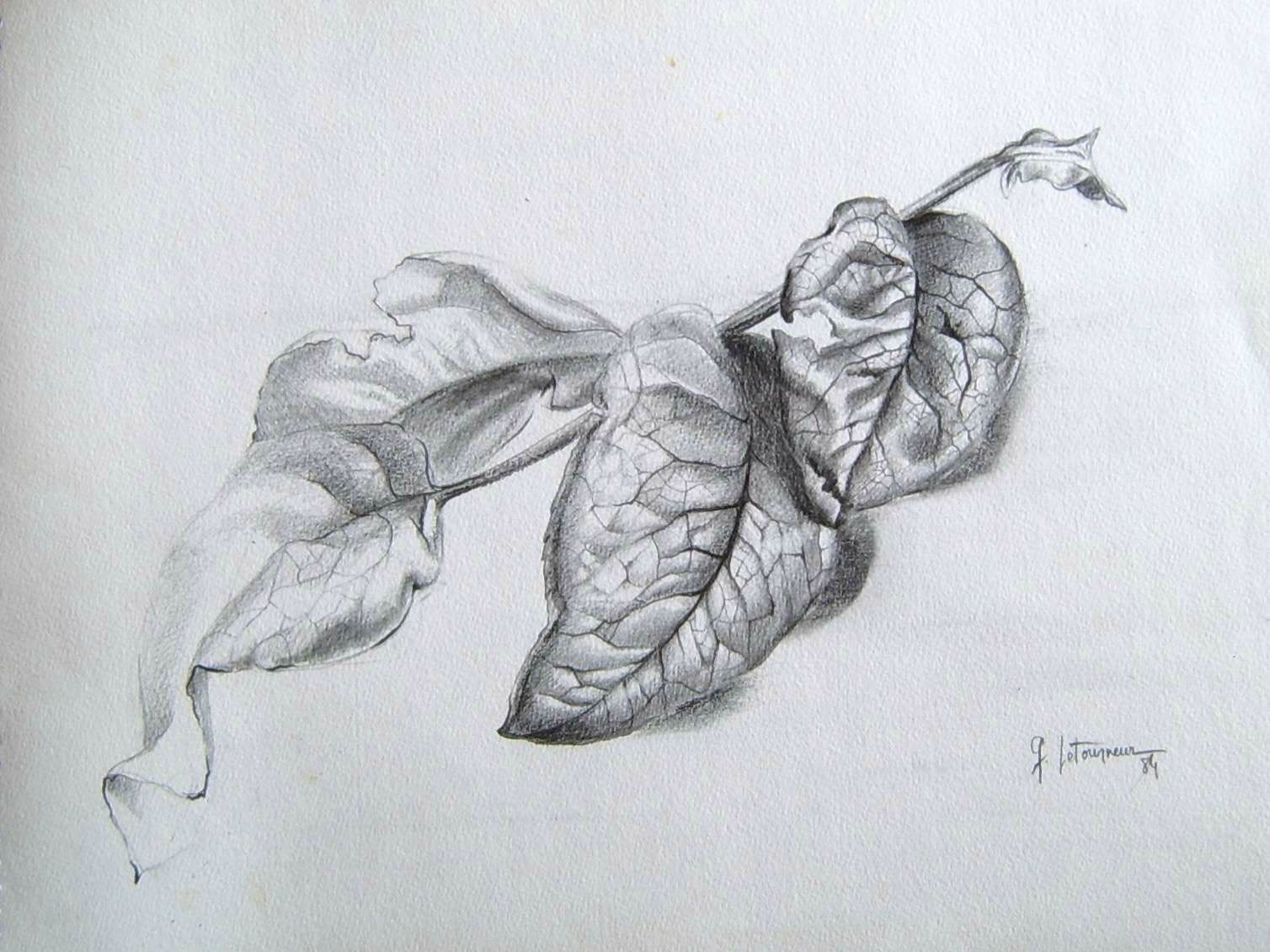 Etude végétal feuillage Dessin crayon graphite Ghislaine Letourneur 1984