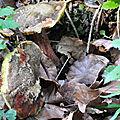 Xerocomus chrysenteron (4)