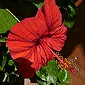 P1210953 GOREE Hibiscus Rouge