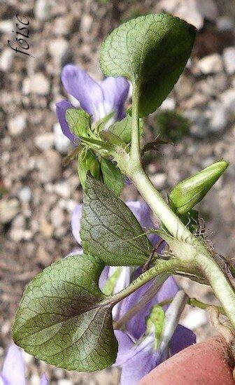 feuilles caulinaires