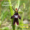 Ophrys insectifera - mouche - comp