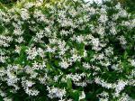 Ispahan jardin jasmin bosquet