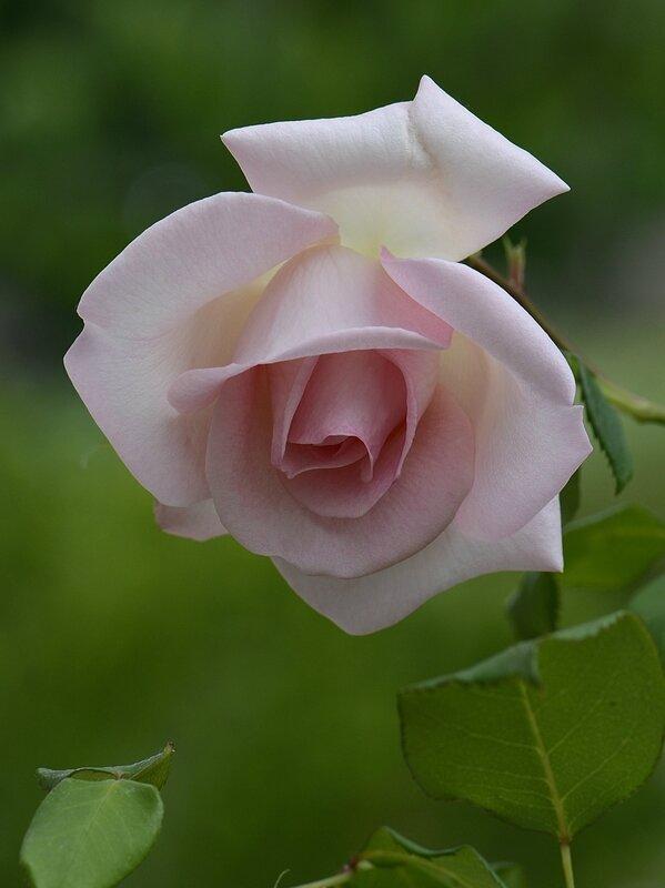 Rose Sandrine 1 08-06-17