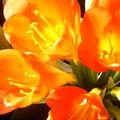 Les clivias sont en fleurs