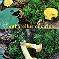 Cantharellus cibarius