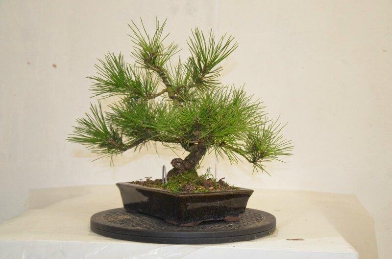 Pinus inconnu (3)
