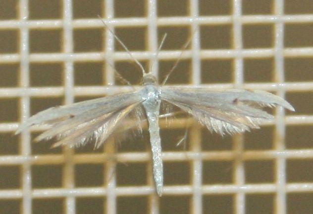 Oidematophorus borbonicus