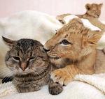 lionchat