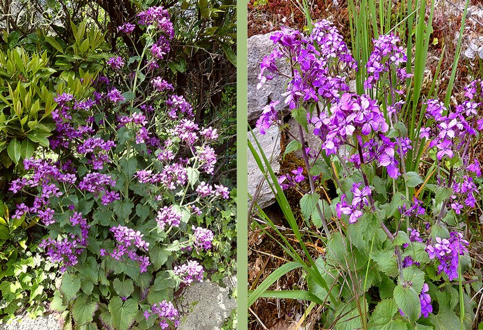 fleurs purpurines inodores en grappe lâche