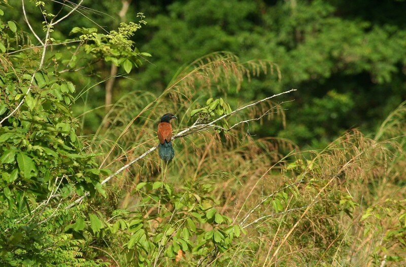 Centropus sinensis2_Taman Negara_XRu
