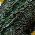 Noyer à écorce en lanières • Carya laciniosa • F. des Juglandaceae