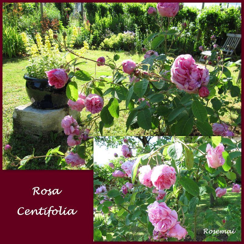 Rose ancienne : Rosa Cenfolia