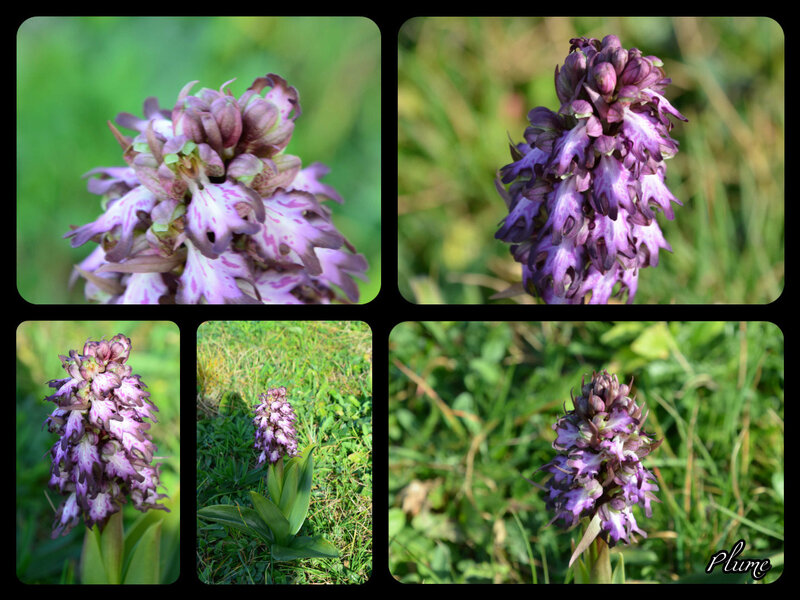 orchis 2