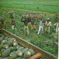 récolte d'ananas en Côte d'Ivoire