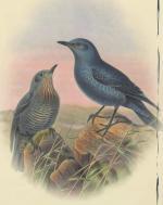 Oiseaux merle bleu Messiaen