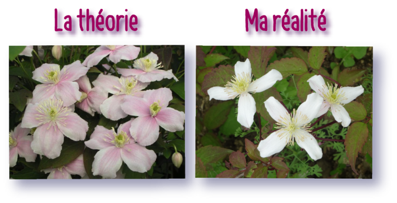 la clematite mayleen a somme-vesle