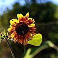 tournesol 2 (Small)