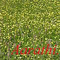 Floral carpet of buttercups