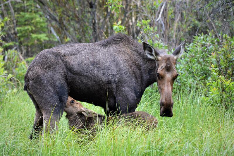 Moose 15